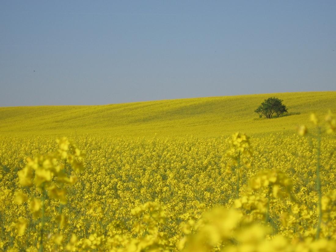 rapeseed field2