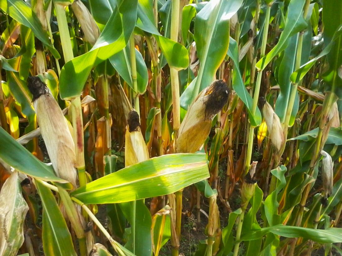 stockvault-corncobs135984